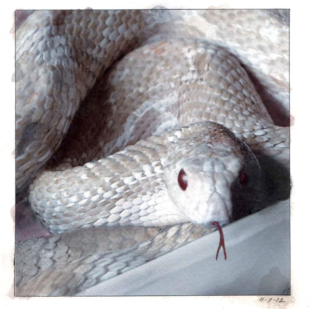 pine snake in box