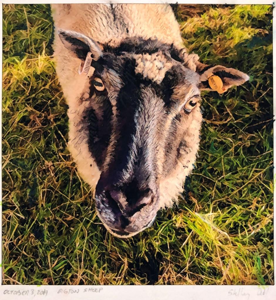 Shetland Sheep Bigton